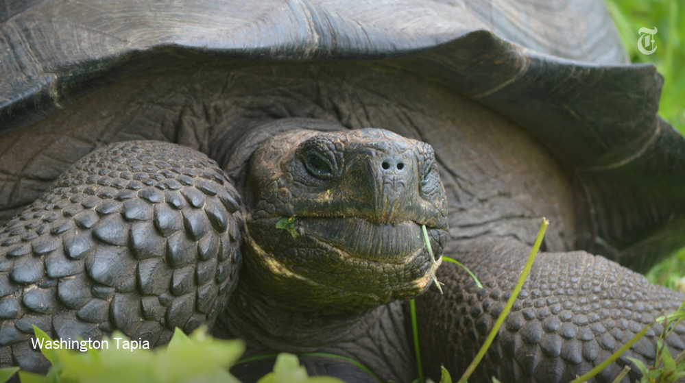 A new species of tortoise was discovered in the Galápagos Islands http://nyti.ms/1PHvYN1