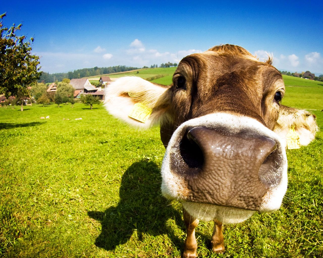 funny+jokes+pictures Read Online Free Funny Cow Cows