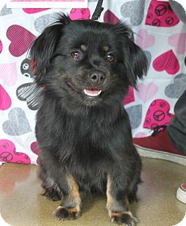 studio city, CA Tibetan Spaniel Mix. Meet Lily a Dog for