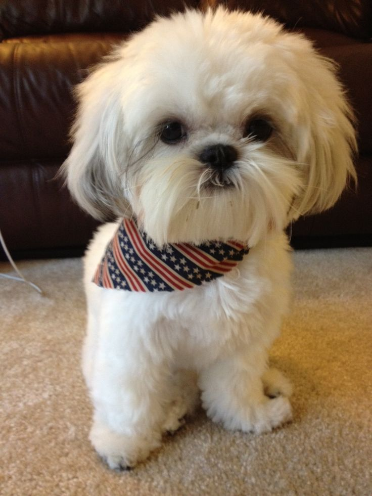 Area Puppy Still Recovering From July 4th Bash A Shih Tzu