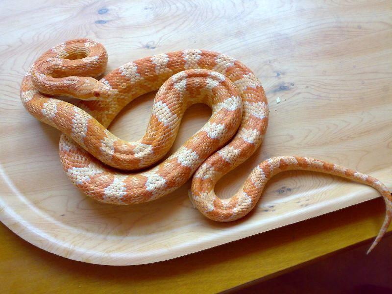 10 Beautiful Corn Snake Morphs Reptile World Facts Corn Snake Snake Snake Breeds