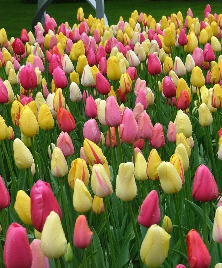The Scheepers Hybrid Tulip Mixture Featuring Single Late Tulips Avignon Camargue Dordogne La Courtine Renown Bulb Flowers Spring Blooms Tulips