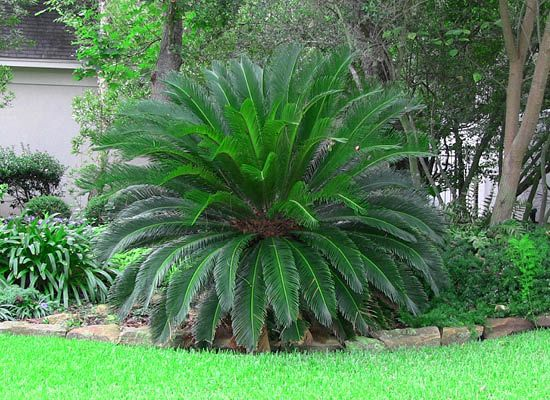 Sago palm for sale cold hardy arizona palm trees moon for Slow growing trees for front yard