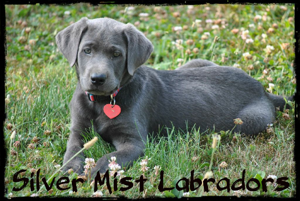 Silver labrador puppies for sale ohio