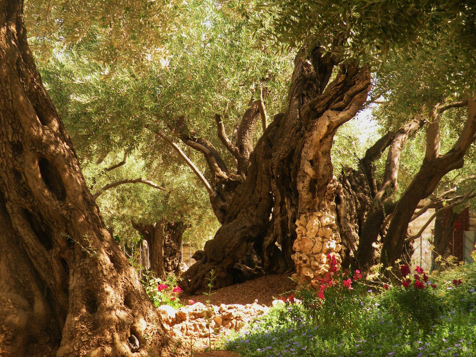 Garden Of Gethsemane On The Mount Of Olives In Jerusalem Some Of These Trees Are Over A