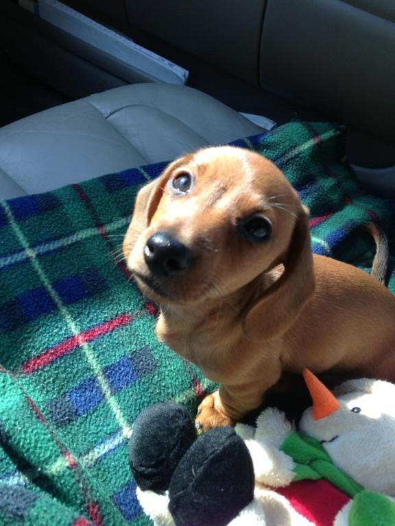 Mini Dachshund Named Douglas Dachshund Puppies Dachshund