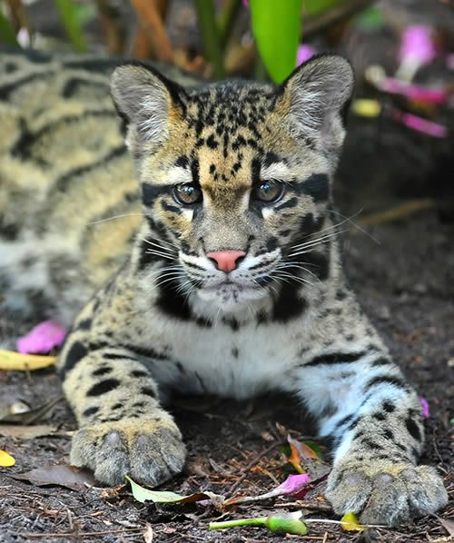 Clouded Leopard Cub   Distinctive facial features but he seems to have the visualization of non specific fur on this body. Just look at that distinctive design up the forehead.