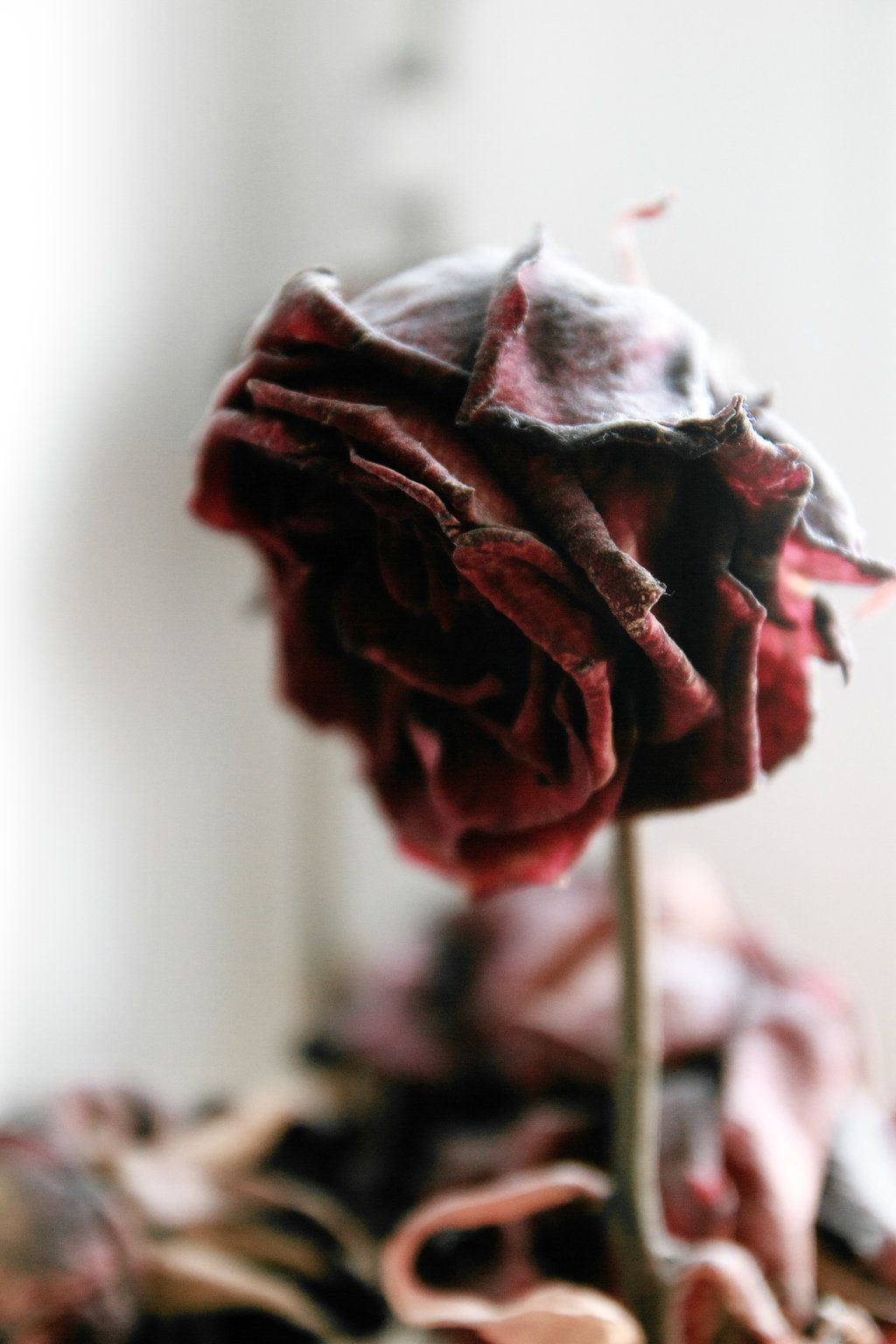 Aging Red Rose