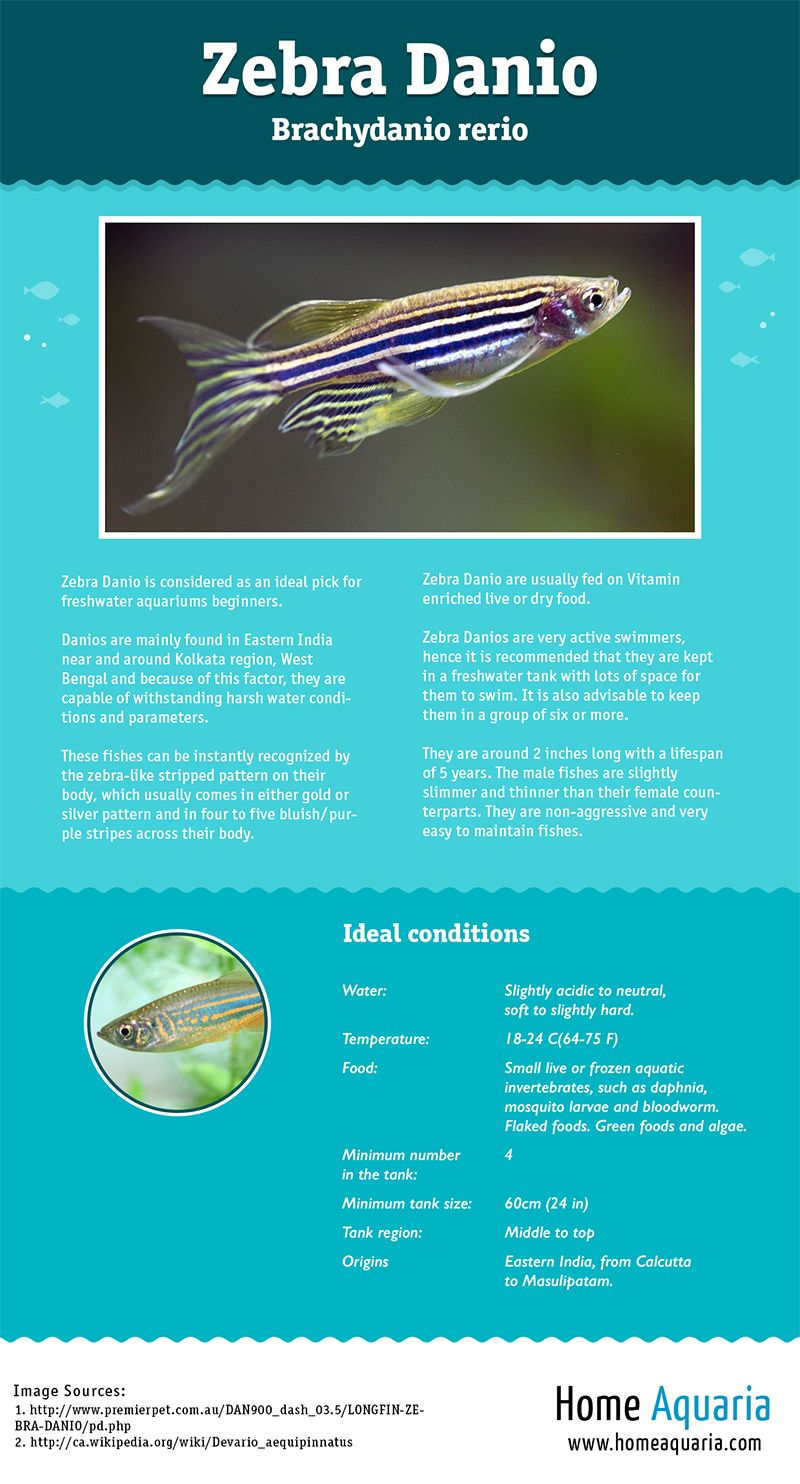 Fish aquarium guide - Infographic A Visual Guide To Everything You Need To Know About Keeping Zebra Danio In Your Freshwater Aquarium