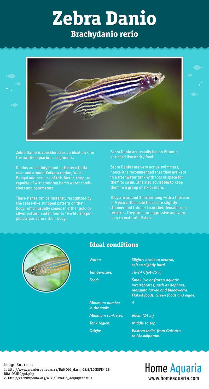 Fish Profile Zebra Danio Infographic Home Aquaria Aquarios Anfibios