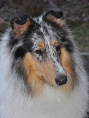 Handsome Blue Merle Hundebabys Hundebilder Lustige Hunde