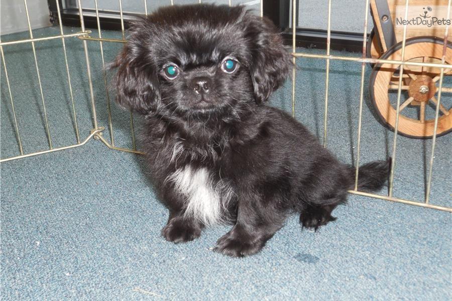 Meet puppy a cute Pekingese puppy for sale for 400. Peke