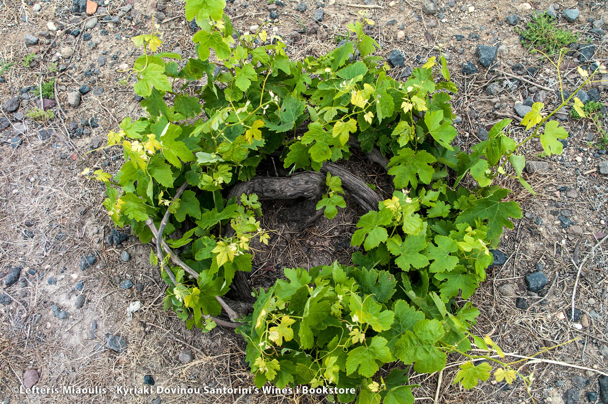 COLORFUL DRY ASSYRTIKO - Hellenic Lifestyle
