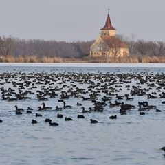 Wild geese and ducks at the Nove Mlyny reservoirs in Czech Republic