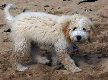 Spanish Water Dog Looks Like A Teddy Bear Spanish Dog Breeds