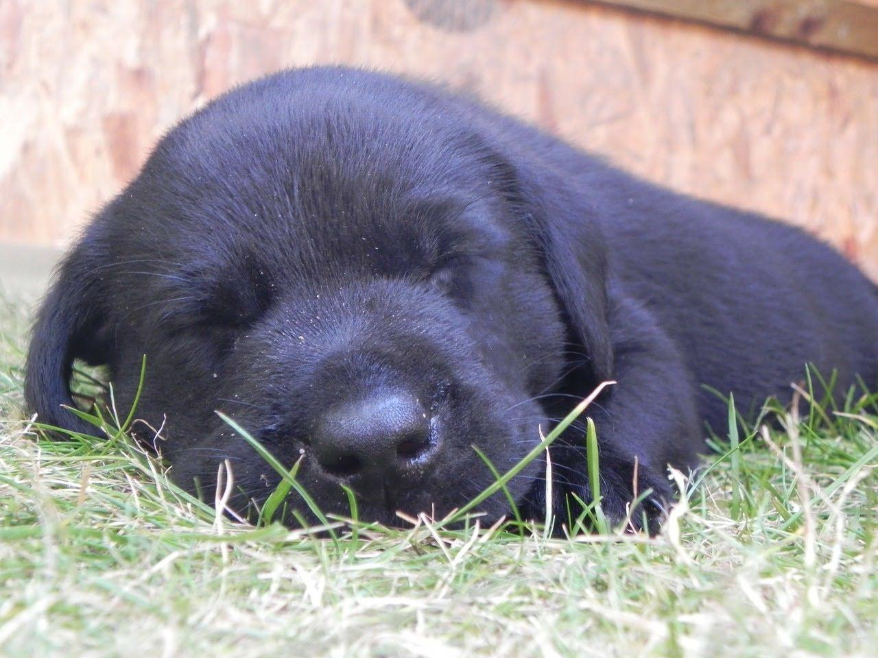Fantastic Labrador Retriever Black Adorable Dog - 041c23fabdde6052af27e1b29bdeac33  2018_12320  .jpg