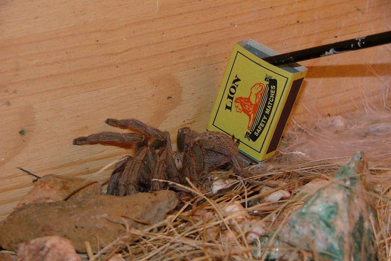 Massive Baboon Spider Found On A Farm Near Bonnievale