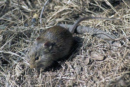 Indian Bush Rat Bush Rat Animals Safari