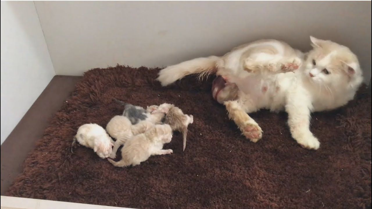 Boo Boo Miu Miu Cat Gives Birth To 6 Kittens Cat birth