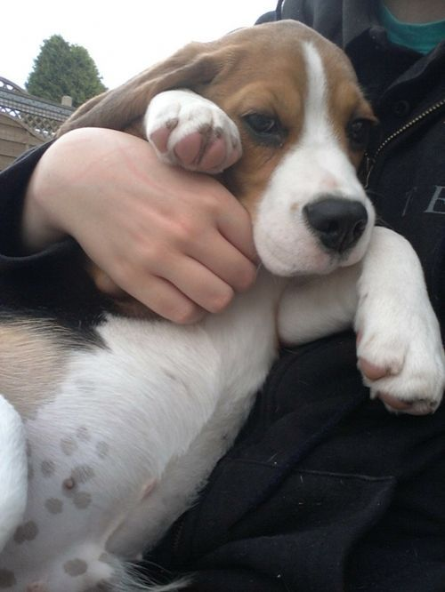 Awww Cutest Little Beagle Puppy With Stomach Spots Beagle Dog