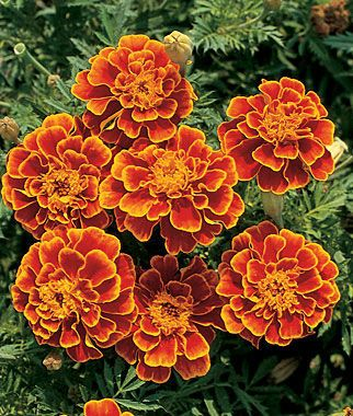 Marigold, Queen Sophia® is part of Marigold flower, Annual flowers, Flowers, Flower garden, Plants, Colorful flowers - This 1979 AllAmerica Selections winner has large, showy fully double blossoms with russet red petals and a delicate rim of gold on the edges  Blooms early