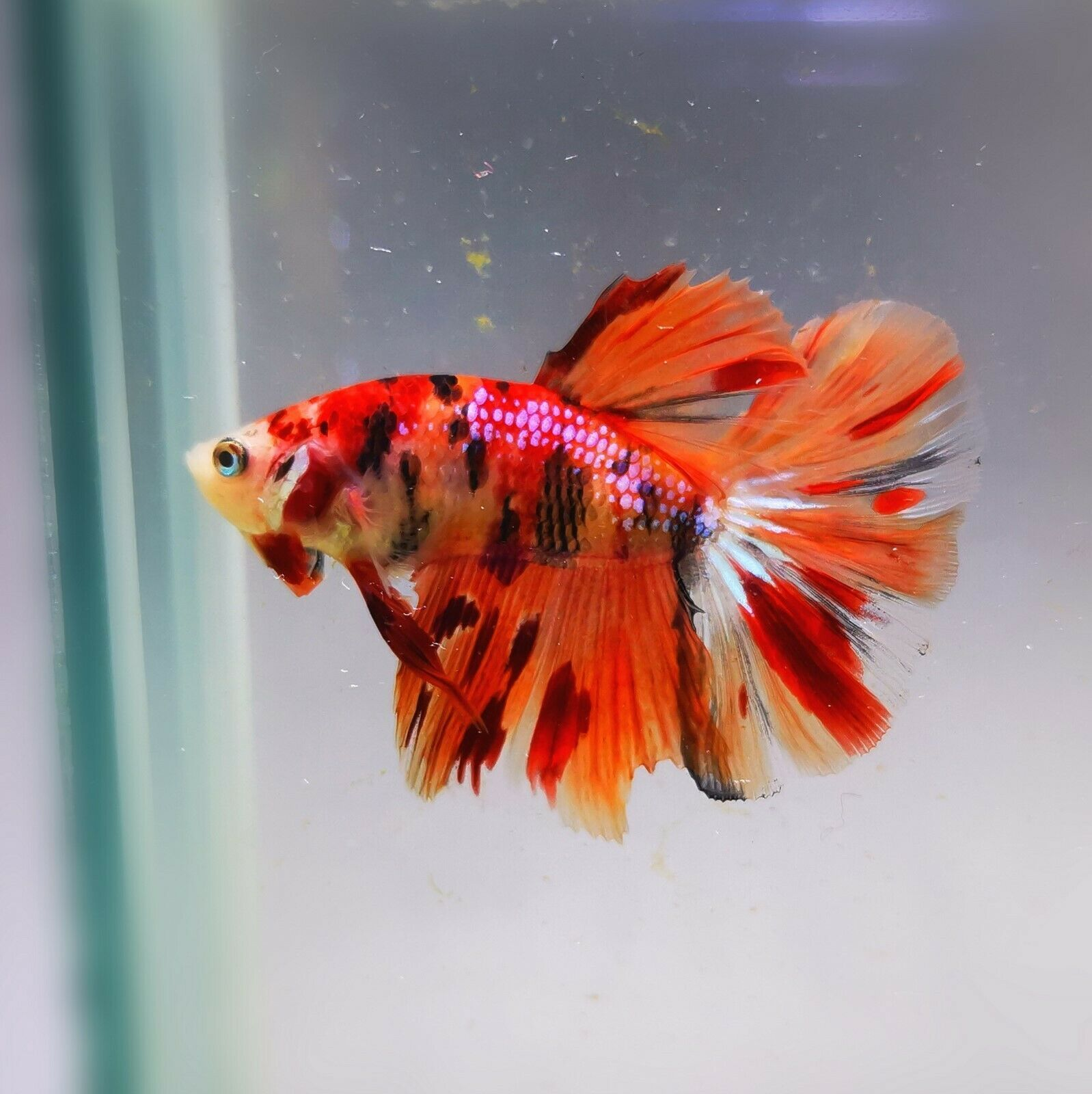 Live Betta Fish Super Koi Nemo Halfmoon Rare Ab000212 Betta Fish Ideas Of Betta Fish Bettafish Fis In 2020 Betta Aquarium Aquarium Fish For Sale Betta Tank