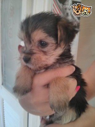 Yorkshire Terrier Cross Chihuahua Puppies Stoke On Trent Staffordshire Pets4homes Chihuahua Puppies Puppies Yorkshire Terrier