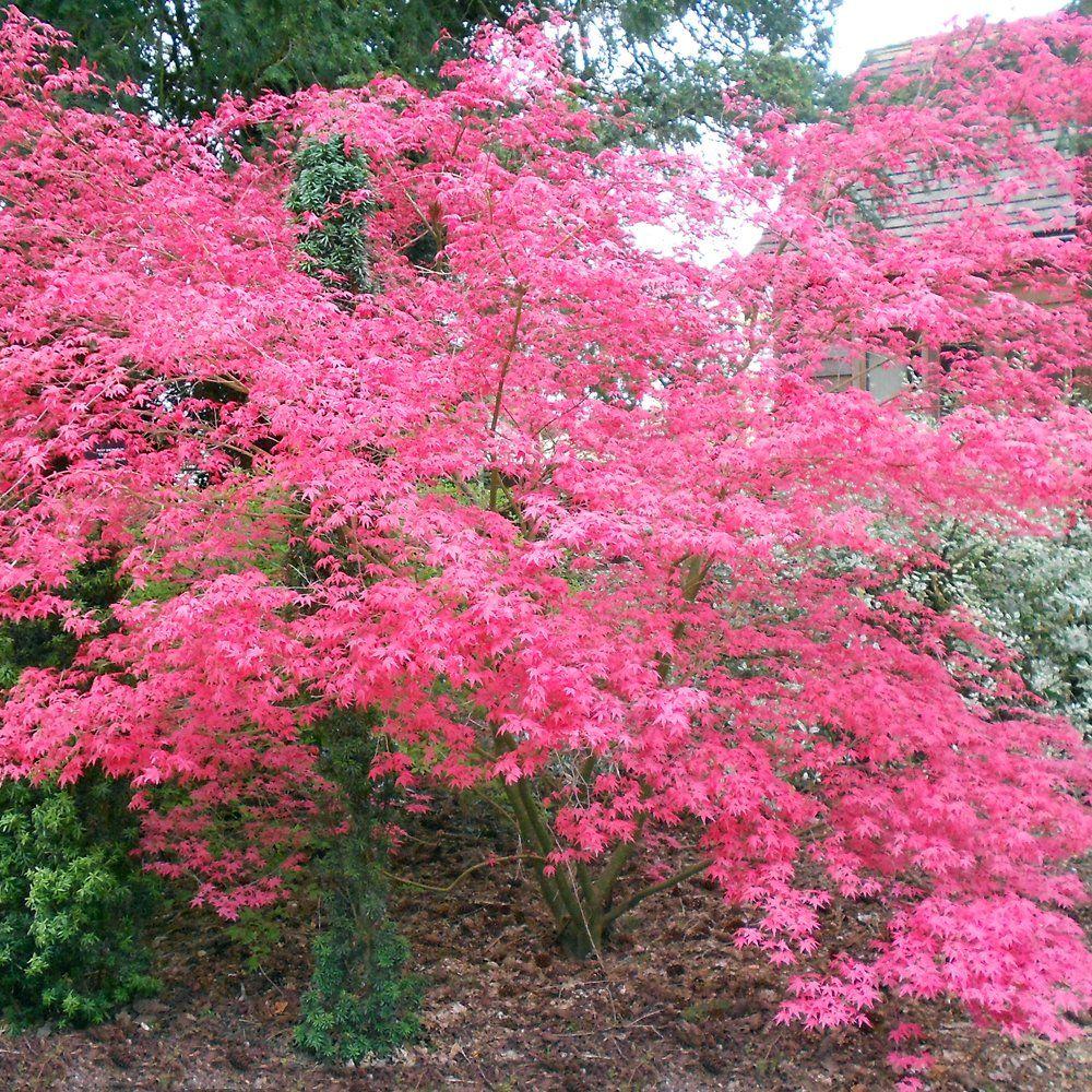 Acer palmatum shindeshojo a small tree shindeshojo also for Pink small tree