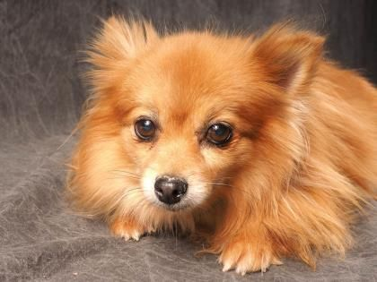Meet Bashay A 9 Years 3 Months Pomeranian Available For Adoption In Colorado Springs Co Shelter Dogs Rescue Dogs Animal Shelter
