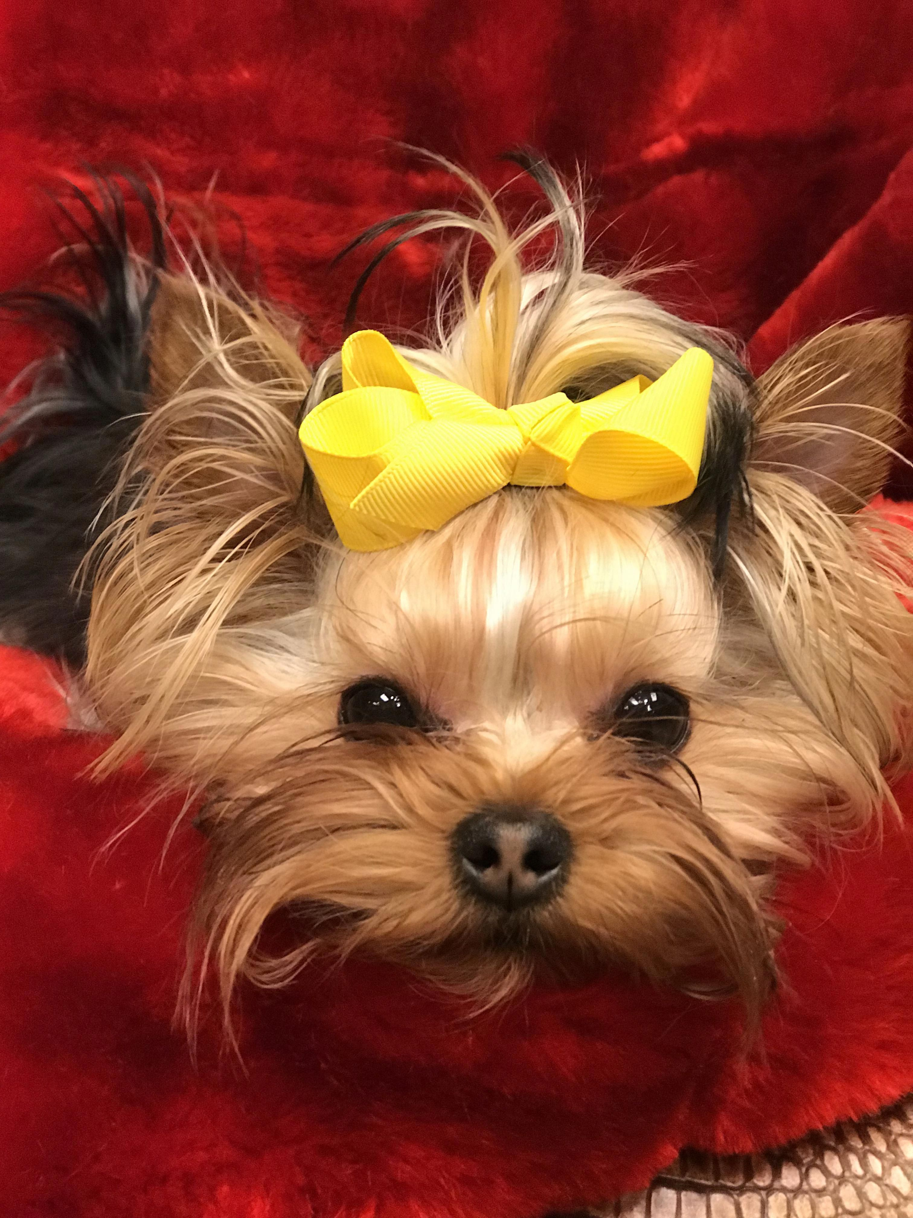 Find out more on the yorkshire terrier pups health