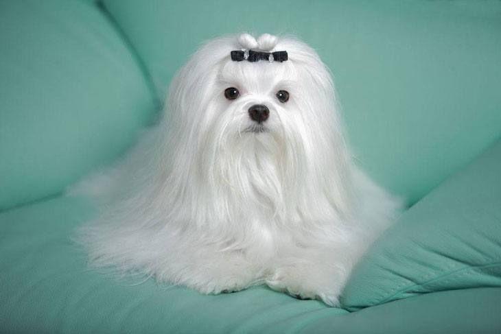 Gorgeous Maltese Maltese Puppy