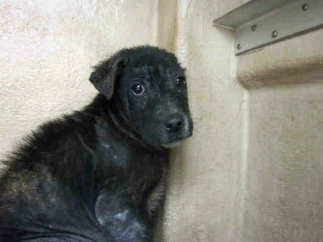 For Pete S Sake Little Puppy In Need Of Last Minute Rescue From