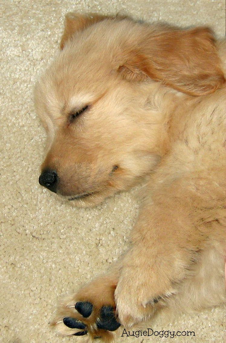 Golden Retriever Puppy Augie 7 Weeks Old Golden Retriever Dogs Golden Retriever Most Beautiful Dog Breeds