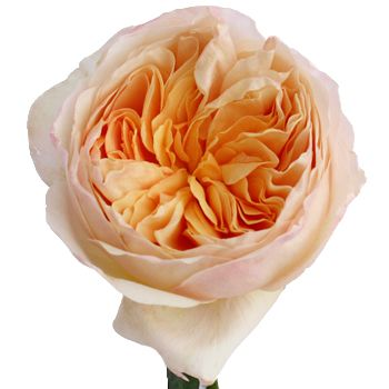 Peach Garden Rose wholesale white alstrecia flowers | peony, david austin and flowers