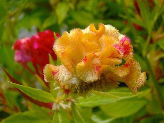 Annuals *Celosis*  Kurume Corona    50 Seeds Common name Cockscomb