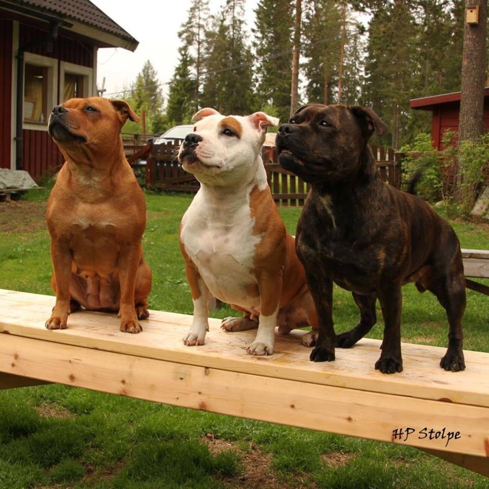 Idea by Sherry Garrett on Bully Breeds Staffy dog