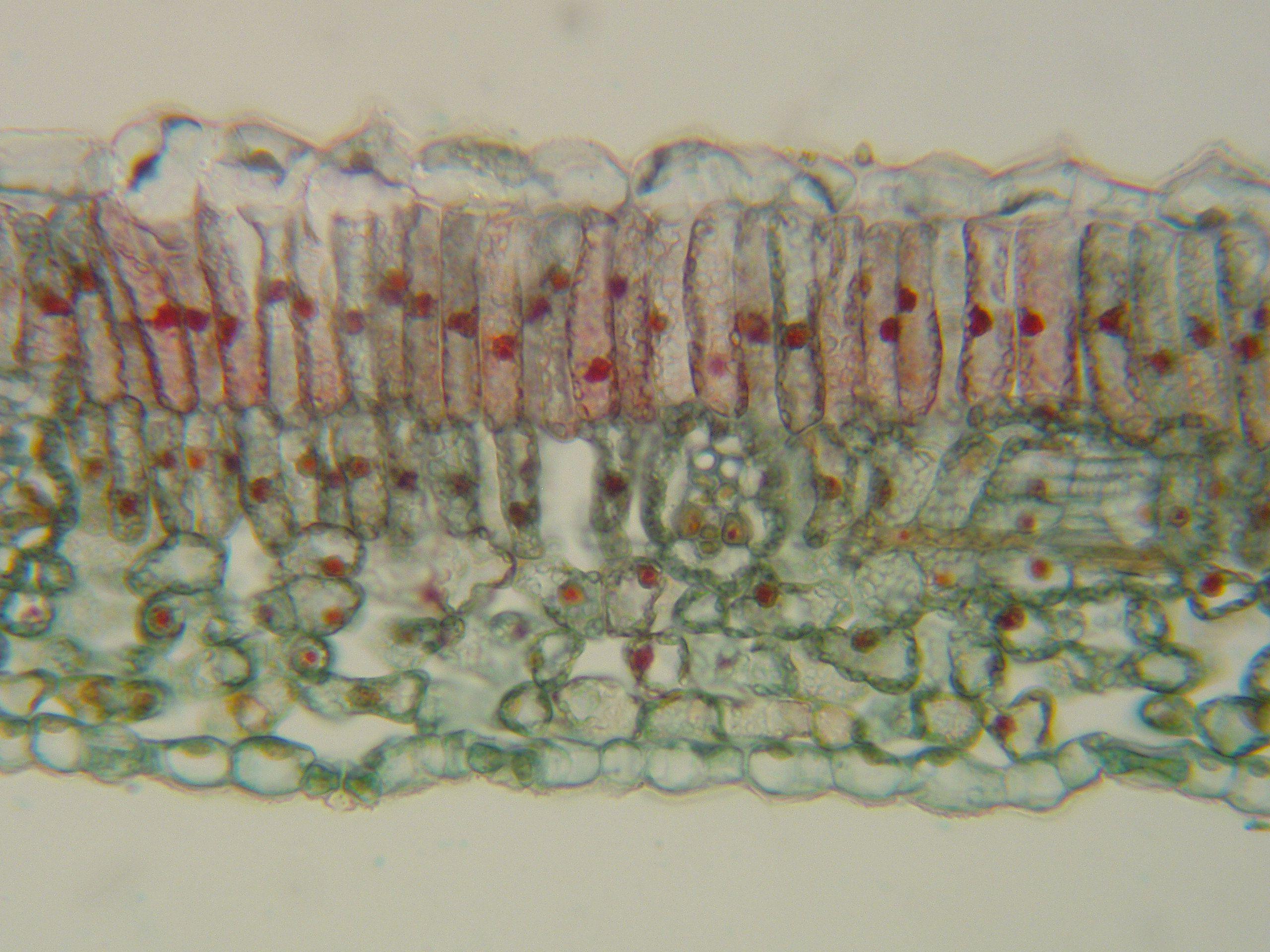 Plant Anatomy: Root, Stem, Leaf | Cc | Pinterest