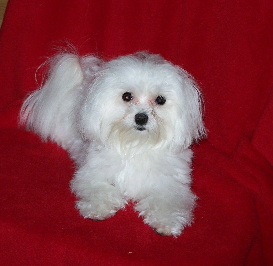 Photos Maltese Dogs Maltese Dog Weclome To My Blog