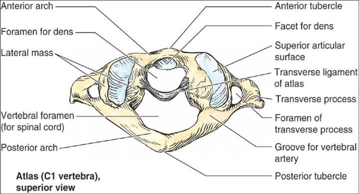 C1 Vertebra The Atlas In The Cervical Spine Supports All Of The