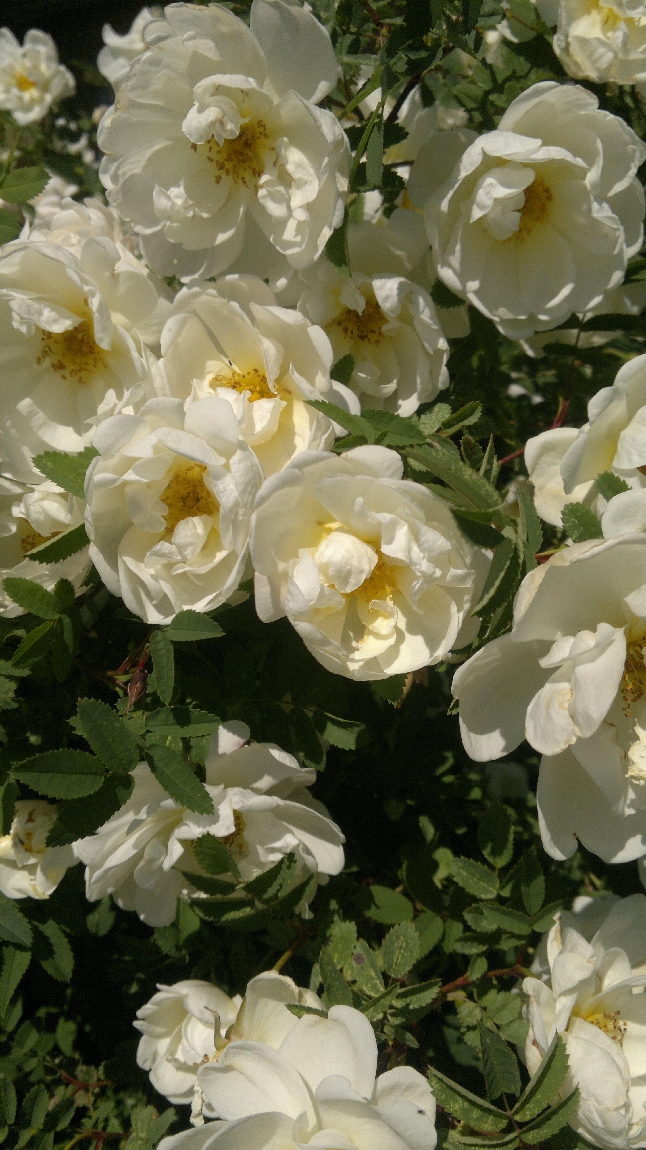 Rosa pimpinellifolia - Pimpinellaruusu /Juhannusruusu