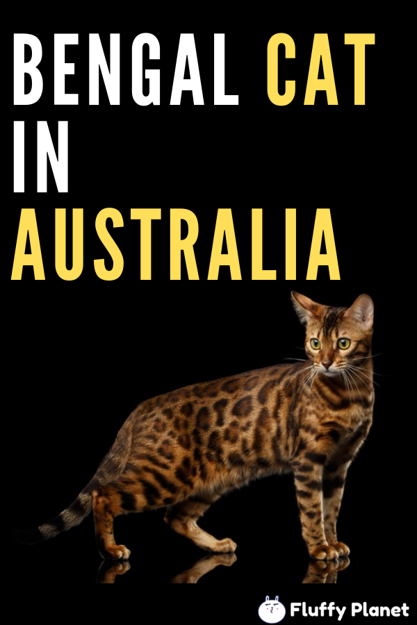 How Much Is A Bengal Cat In Australia Bengal Cat Price Bengal Cat Bengal Cat Cost