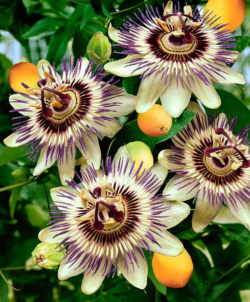 Passion Flower Van Crato Seeds From Spalding Bulb Pflanzen Seltsame Blumen Schone Blumen