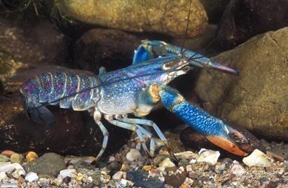 Redclaw Crayfish for Sale - Australian Native Fish Enterprises (ANFE