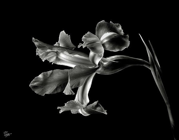 Iris In Black And White By Endre Balogh Black And White Flowers White Flower Photos White Iris