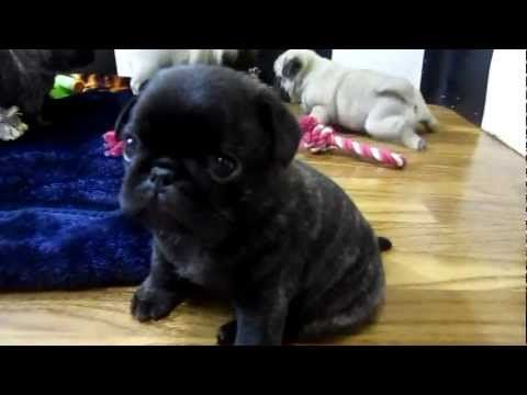 Cutest Pug Puppies Ever Youtube Cute Pug Puppies Pug Puppies