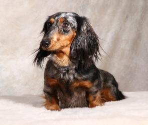 Adopt Pippa On Dachshund Rescue Dachshund Adoptable Dachshund Dog