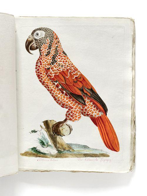 Johann Nepomuk Spalowsky, Beytrag zur Naturgeschichte der Vögel, 1791-92. Vienna. From the catalogue © Kunstkammer Georg Laue, Munich. Exhibition Olbricht collection, 2013.