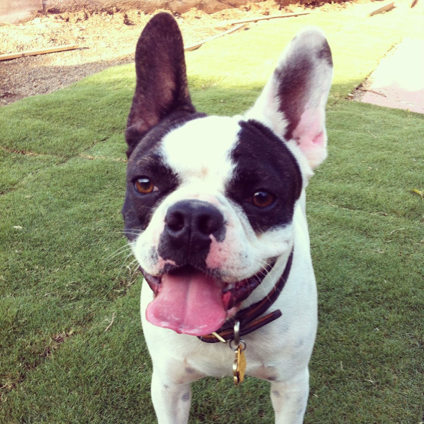 This Is A Frenchton A French Bulldog And Boston Terrier Mix Puppy And 100 Gorgeous Pitbull Terrier Bull Terrier Dog Terrier
