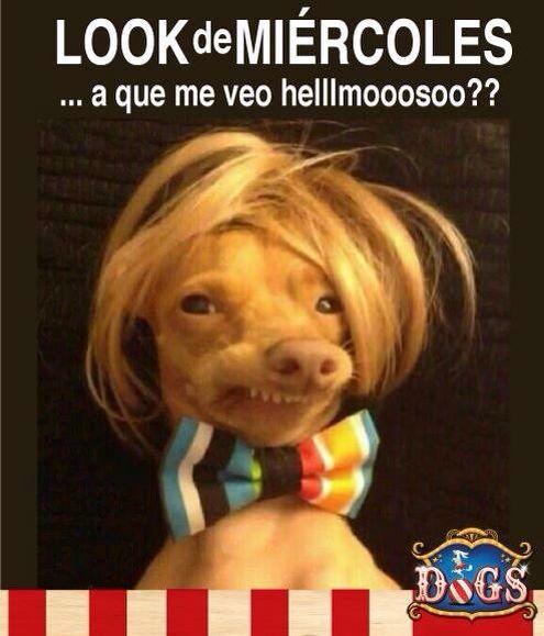 Perro Loco A La Moda Imagenes De Perros Graciosos Memes De Perros Chistosos Perro Con Peluca
