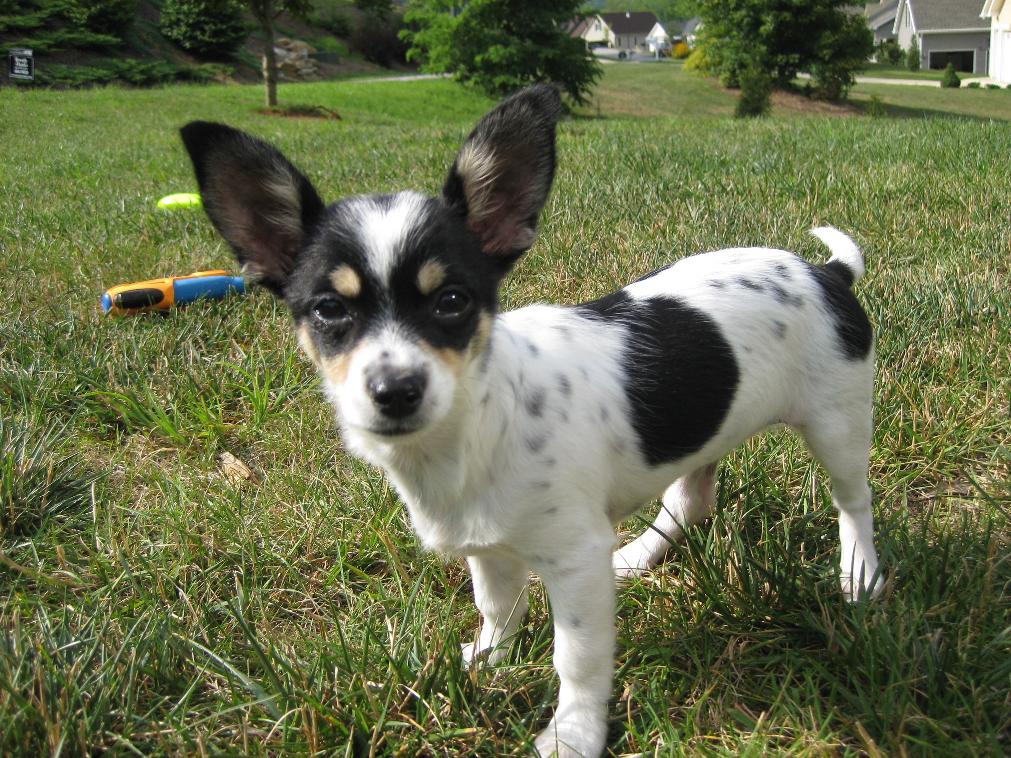 Chion Papillon Chihuahua Mix Unique Dog Breeds Rare Dog
